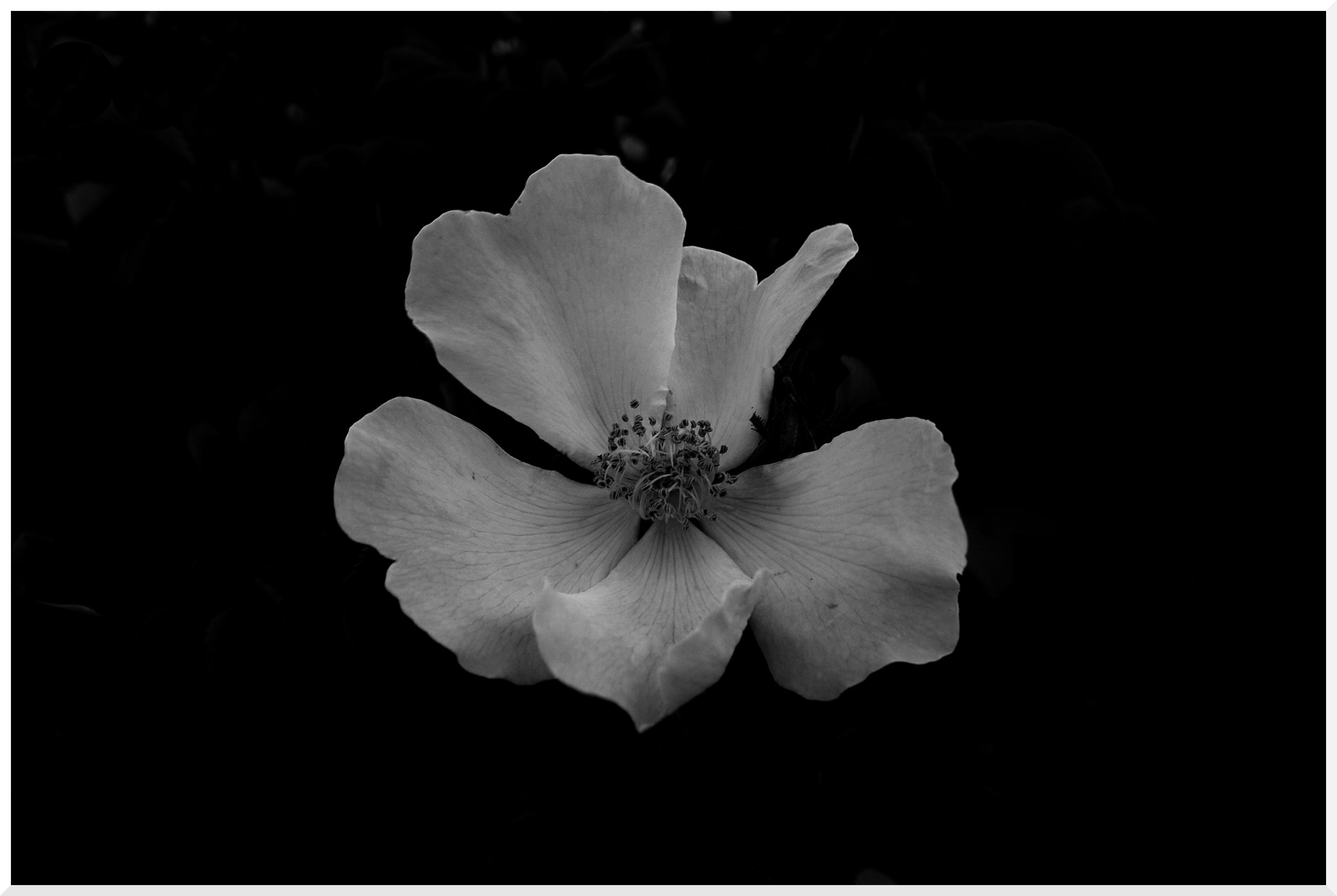 Rosa Euphorie