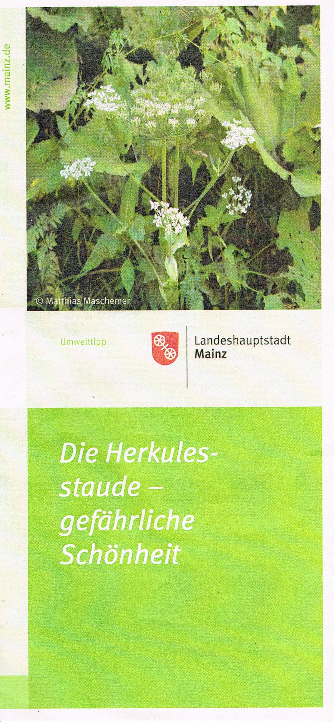 Stadt Mainz, Umwelttipp Herkulesstaude